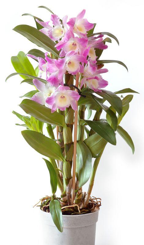 cambria orchidea tartása