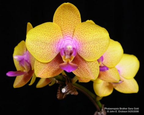 phalaenopsis_brother_sara_gold.jpg