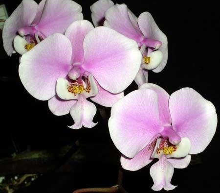 phalaenopsis azaz közismertebb nevén a pillekosbor vagy ...